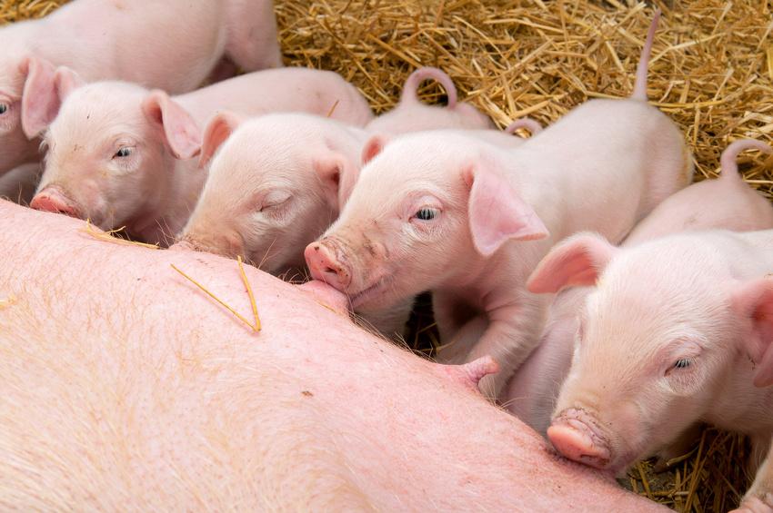 Bioseguridad en explotaciones porcinas