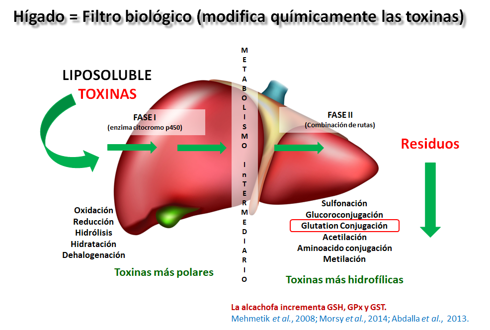 hígado - Biopyc