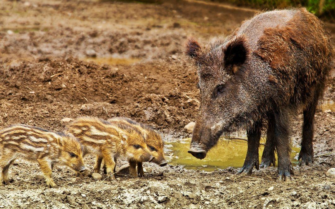 La Bioseguridad: Herramienta clave contra la Peste Porcina Africana (PPA)
