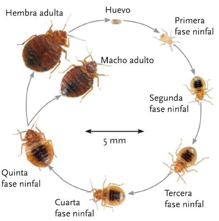 Los chinches de la cama , un insecto muy especial