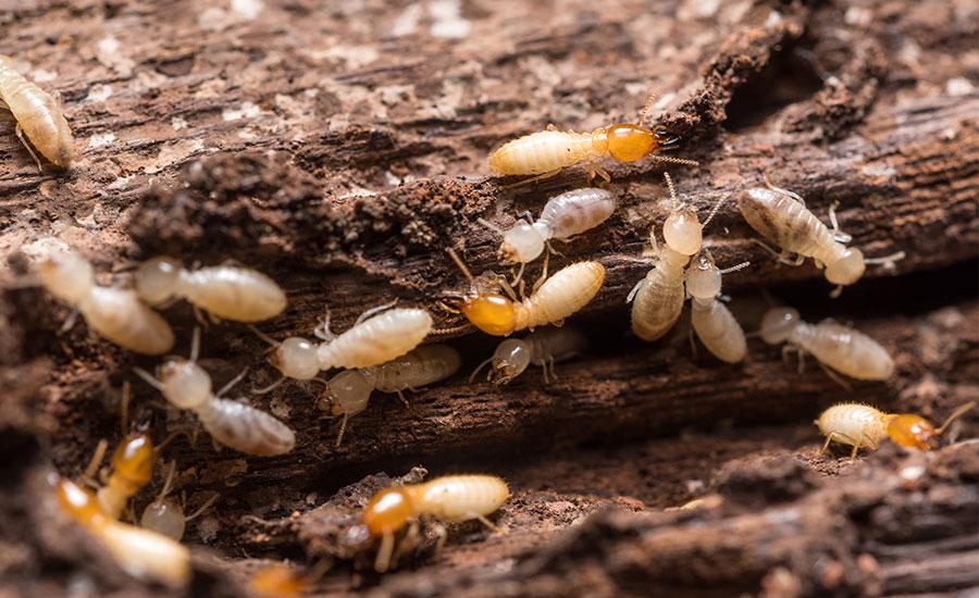 En Biopyc ofrecemos la técnica más eficaz para eliminar definitivamente las termitas