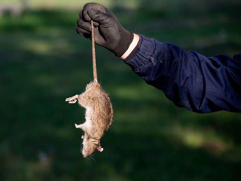 Ofrecemos la mejor solución para el control de roedores en función de las características de la explotación